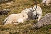 Rocky Mountain Goats, Mt Evans, CO