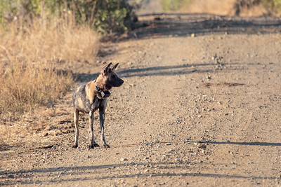 Endangered Wild / Painted Dog with radio collar standing on dirt road, KwaZulu-Natal, morning light