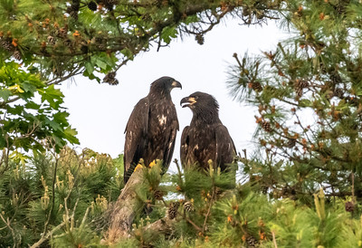 A Pair of Juvenile Bald Eagles Perched in a Tree 6/2/19