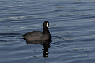 "American Coot (Fulica americana).  ""Often mistaken for a duck, but they are not in the duck family"""