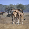 "Two male Rothschild giraffes in Lake Nakuru National Park in Kenya, East Africa engaged in ""necking"" which is used to establish dominance"