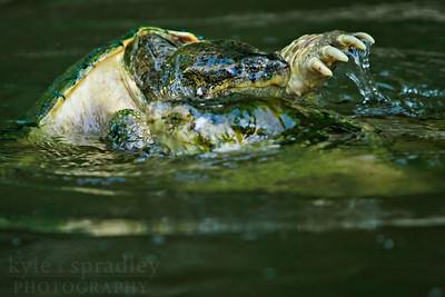 Snapping Turtle.  Photo by Kyle Spradley | www.kspradleyphoto.com
