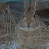 Junkyard Cottontail