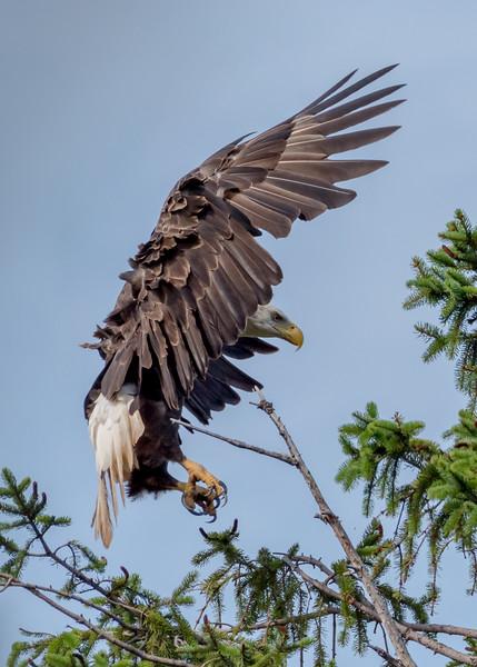 Bald Eagle Landing 7/23/17