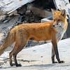 A Mama Red Fox 4/21/21