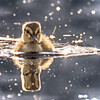 Duckling Reflections