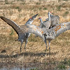 Sandhill Cranes Facing Off