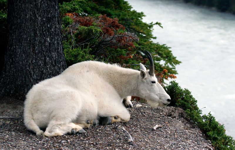 Alpine Mountain Goat - Jasper National Park