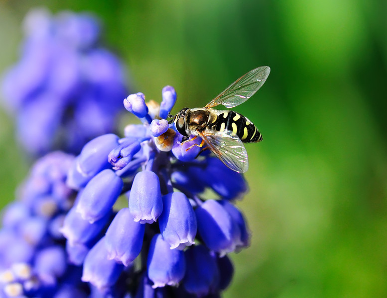 Hoverfly Hyacinth Hangout