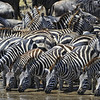 Zebras Drinking at the Watering Hole, Serengeti, Tanzania, East Africa