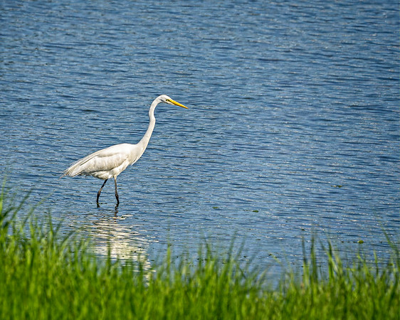 Great Egret at Branford Trolley Trail