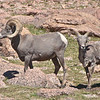 306 - Pikes Peak Bighorn Sheep