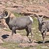 306 - Pikes Peak Bighorn Sheep