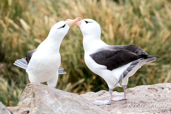 """Courting Albatross"""