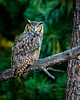 Great Horned Owl (Bubo virginianus) is sometimes called a Tiger Owl.