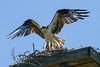 Nesting osprey