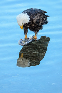 Harrison Bald Eagle 4