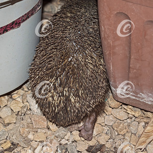 Backside of an Eastern Europen Hedgehog Stuck while Trying to Hide