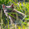 A Coyote Pup In The Grass 6/7/20