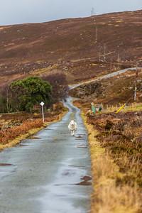 Sheep on Road, Isle of Raasay, Scotland