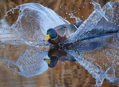 Okotoks, Alta - Jan. 2, 2021 - A mallard drake lands with a splash onto a backwater to the Sheep River in Okotoks. (Mike Sturk photo)
