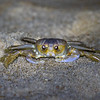 Ghost Crab On The Beach 7/29/20