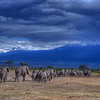 Elephants Head back to the Foothills of Mt. Kilimanjaro, Amboseli National Park, Kenya, East Africa