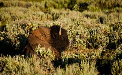 Teton's Bison