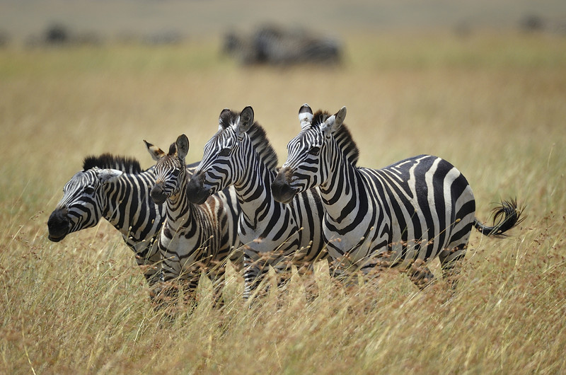 Zebra Family in the Serengeti, Tanzania, East Africa