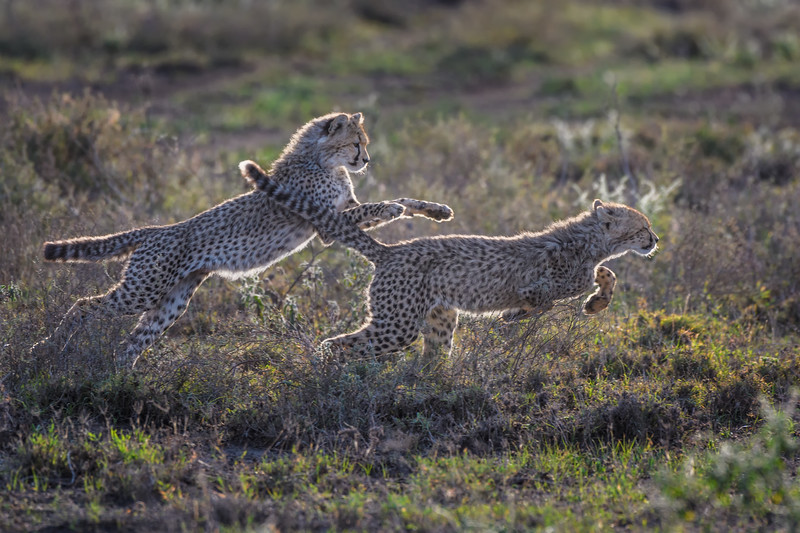 Cheetah cubs playing in Ndutu, Tanzania, East Africa