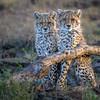 Two cheetah cubs in the early morning, Ndutu, Tanzania, East Africa