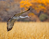 Sandhill Soaring Through Fall