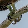 Osprey Talons 6/14/17