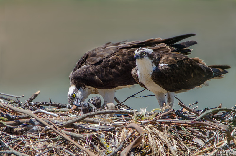 Young Osprey Family