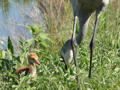 Sandhill Cranes, Adult and Colt,  Lake Woodruff Wildlife Refuge