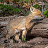 A Red Fox Kit At His Den 5/7/21