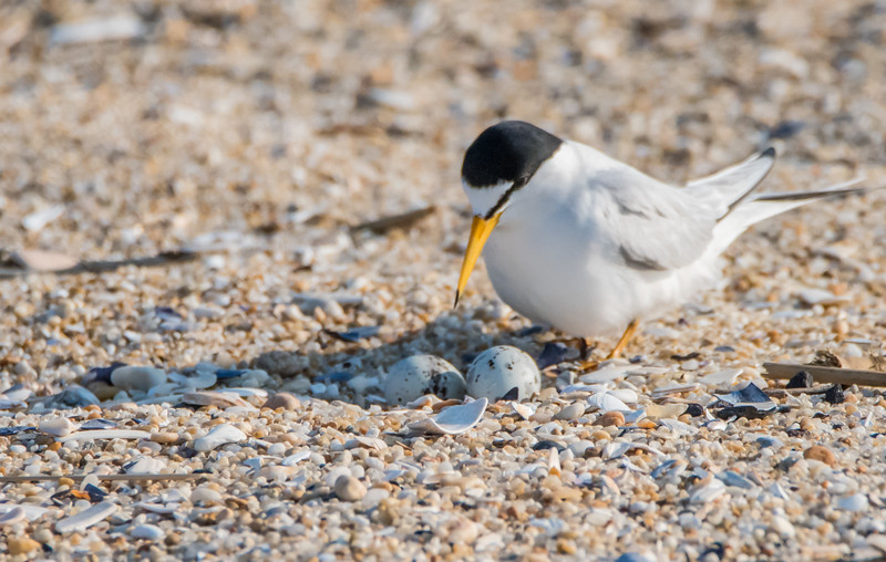 Least Tern with Eggs 6/1/16