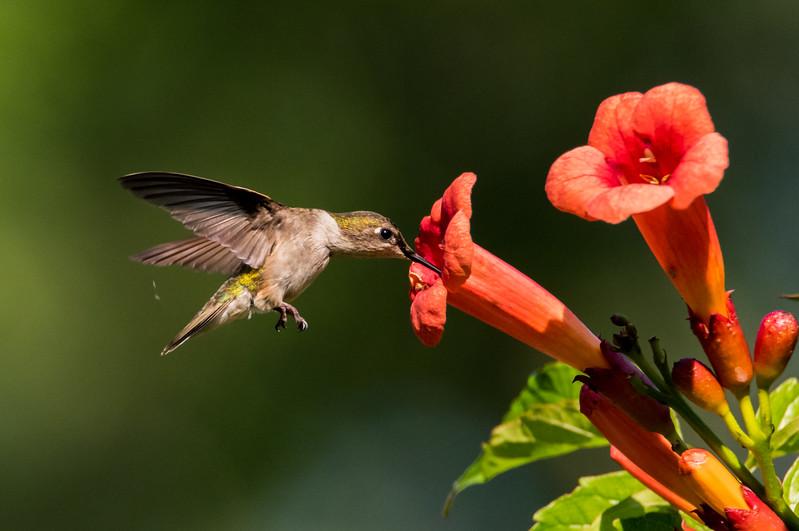 Ruby-Throated Hummingbird 7/16/16