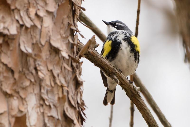 238- Yellow-rumped Warbler