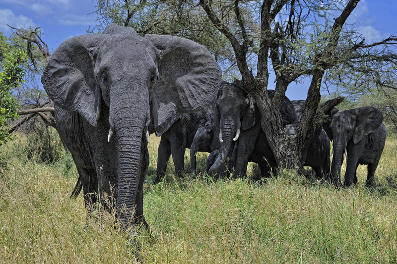 Elephant family in Tarangire National Park, East Africa