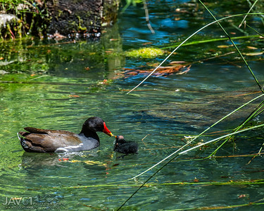 Common moorhen with single chick