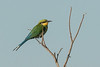 Swallowtail bee eater