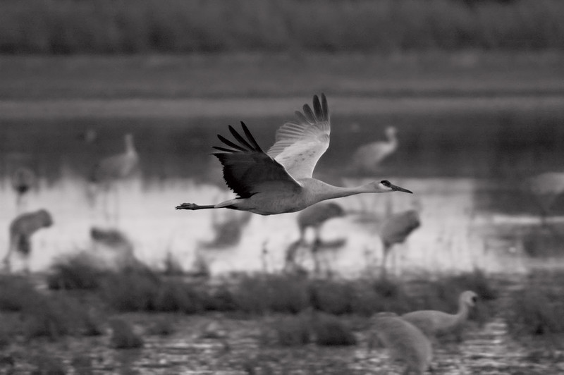 Bosque Crane Flight