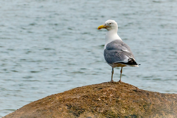 Regal Seagull