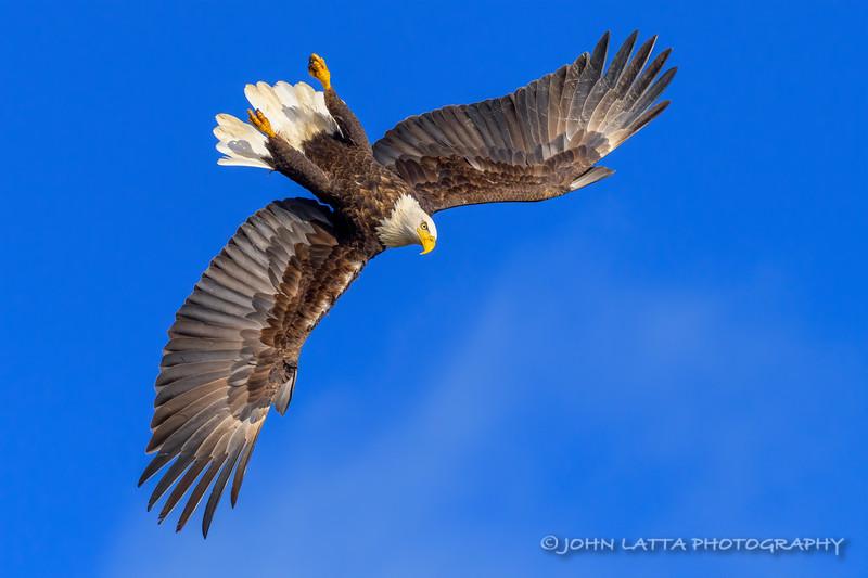Bald Eagle Inverts Into Dive