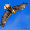 Bald Eagle Inverts Into Dive