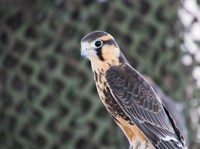 Closeup side view of Aplomado Falcon