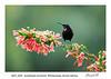 Amethyst Sunbird on Erica flower