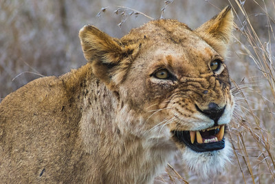 Lioness, Kruger National Park, South Africa