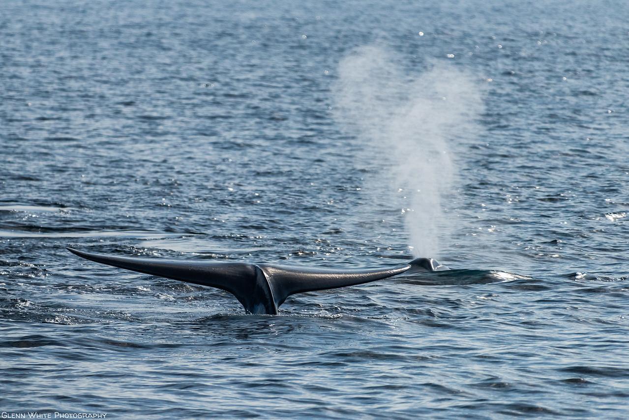 Blue Whale Flukes & Blow
